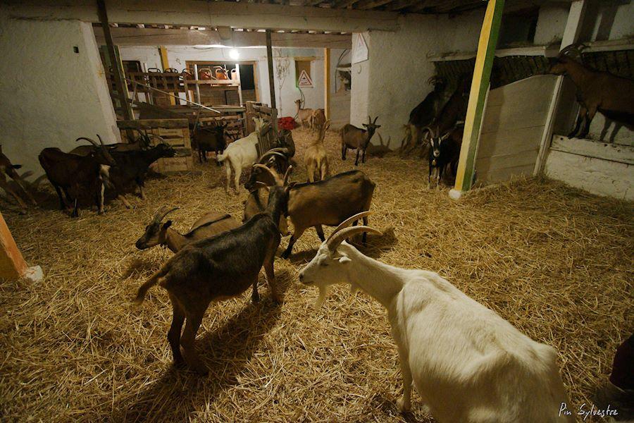arrivée des chèvres